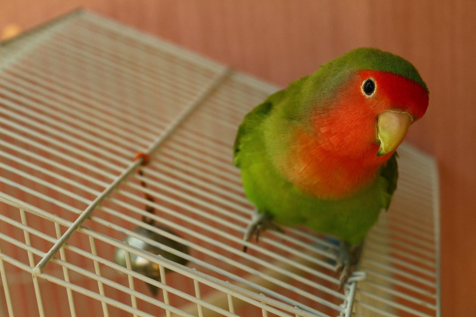 aves como mascotas
