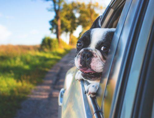 Cómo viajar en coche con tu perro: consejos y normativa