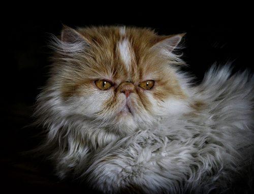 Gato Persa: características, cuidados y curiosidades